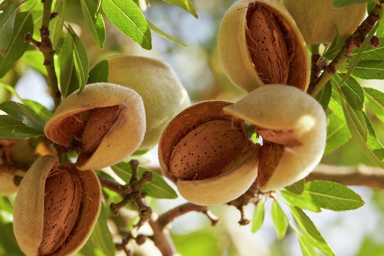 almond badam tree