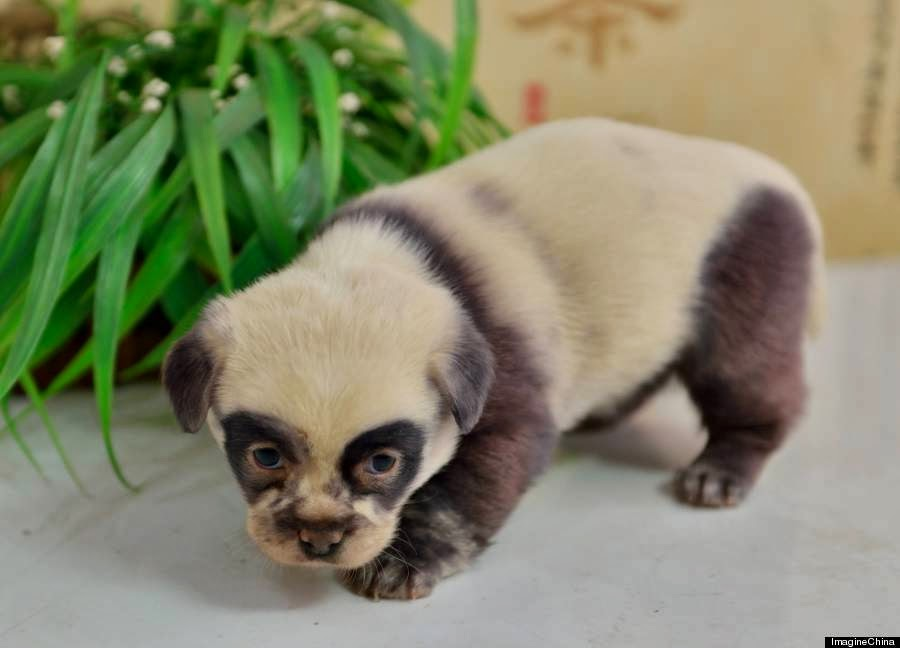 Puppy that look like panda