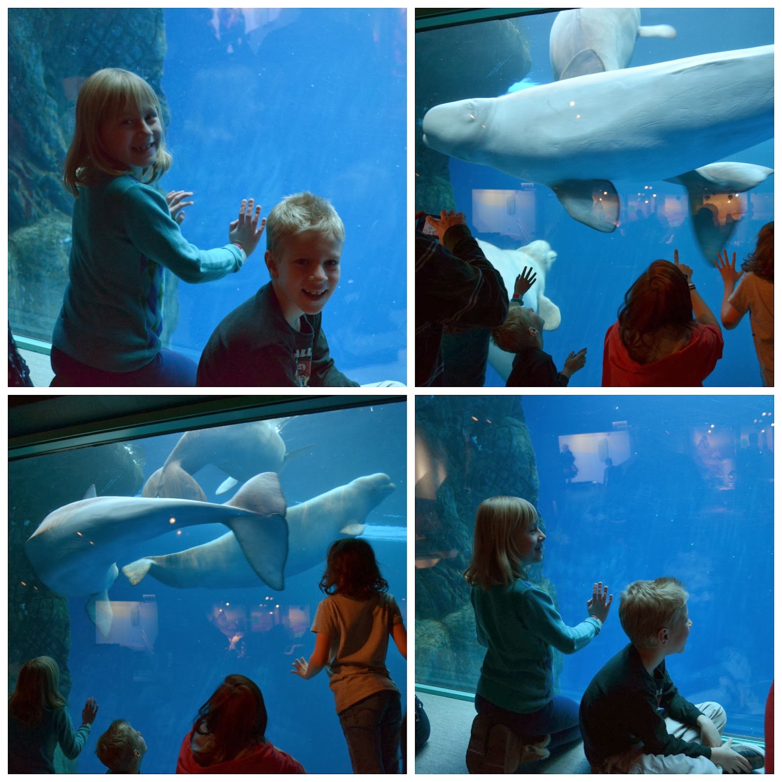 Beluga Whales in the Polar Play Zone at Shedd Aquarium in Chicago
