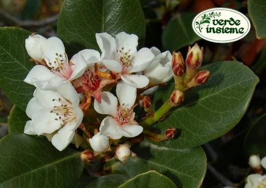 Sempreverde con fiori bianchi of37 regardsdefemmes for Piante sempreverdi con fiori