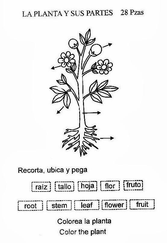 Dibujo para colorear de las partes de las plantas - Imagui
