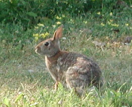 Wild Backyard Rabbits :  Precision Wildlife puts a ban on wild rabbit removal for the weekend