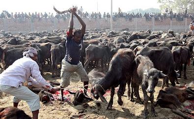 2013 07 17 205635 Penyembelihan Terbesar Paling Kejam Keatas Haiwan