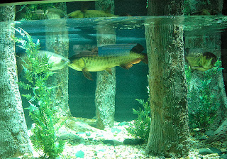 asian arowana dragon fish