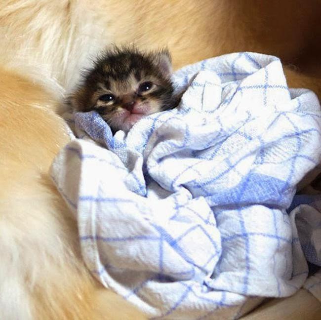 Golden retriever taking care of abandoned kitten (8 pics), dog adopts kitten, dog loves kitten