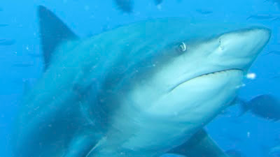 bull shark fiji