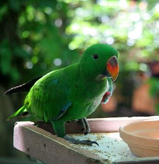 Eclectus Parrot Bird