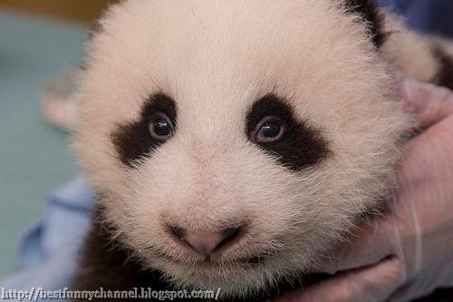 panda bears pictures 29