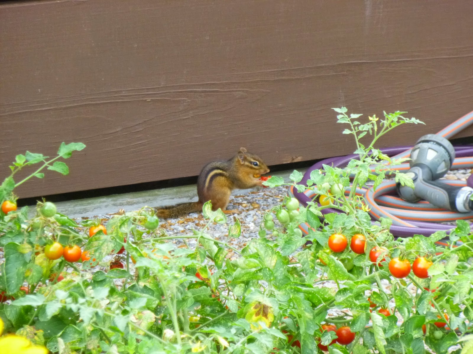 Chipmunk eating cherry tomato