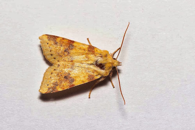 The Sallow (A bit worn on the head) - Photographed in Milton Keynes