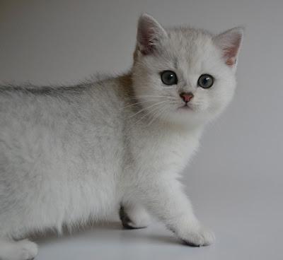 Blach silver shaded British shorthair
