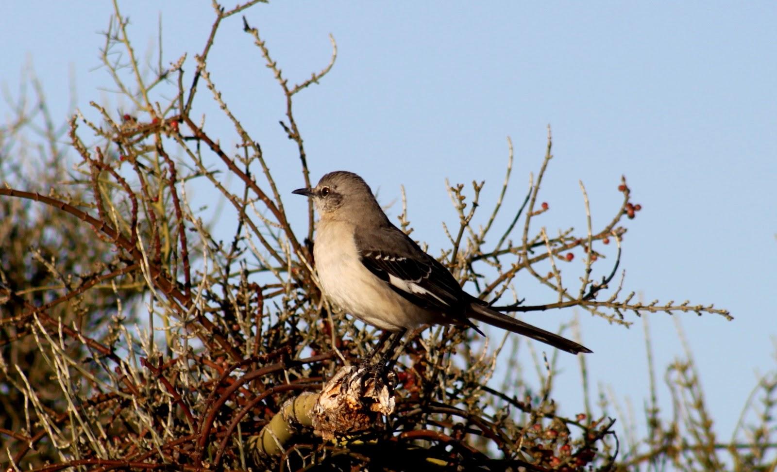 A Northern Mockingbird Mimus Polyglottos