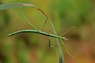 Para ampliar Pijnackeria hispanica (Insecto palo) hacer clic
