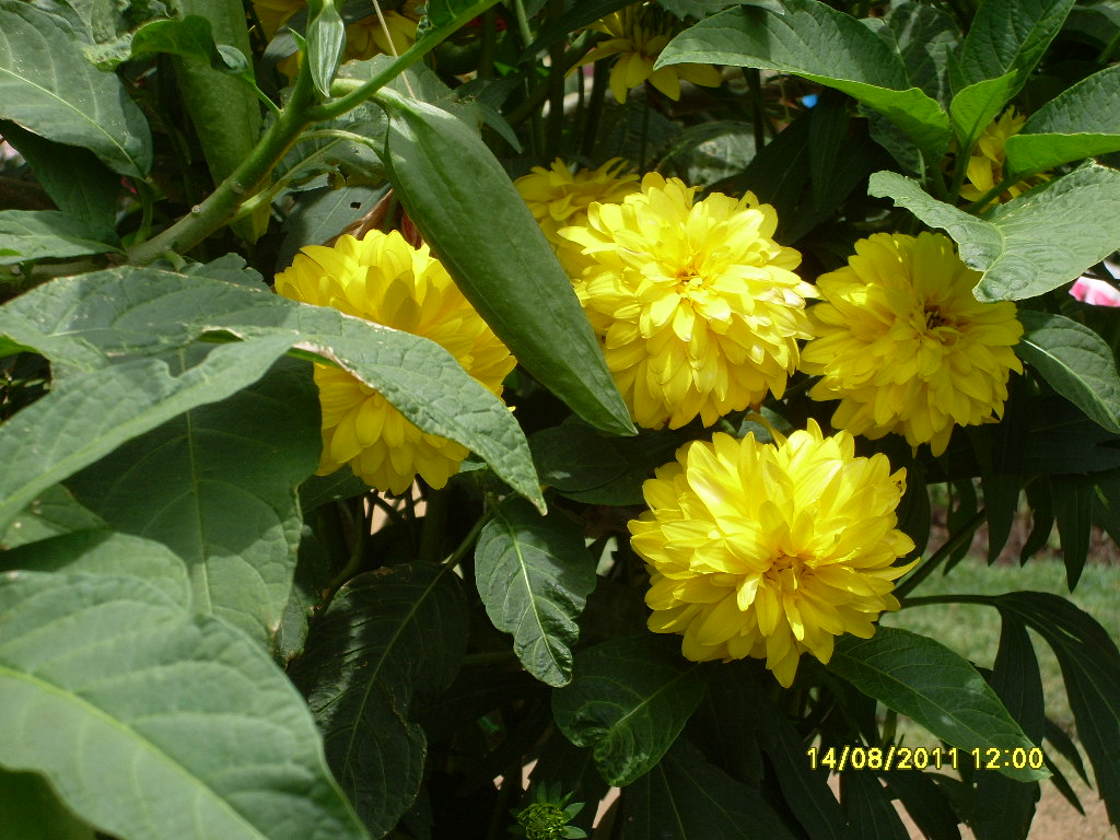 Beautiful Flower Kapuru Flower Peradeniya Sri Lanka Sl Image