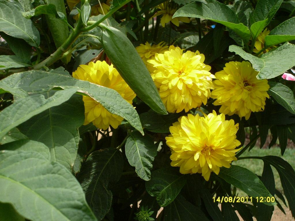 Beautiful flower kapuru flower peradeniya sri lanka sl image beautiful flower kapuru flower peradeniya sri lanka izmirmasajfo