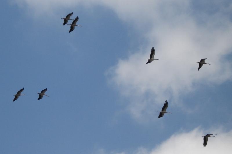 Le grand départ des cigognes