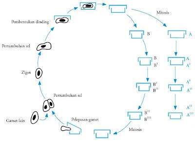 Skema reproduksi diatom