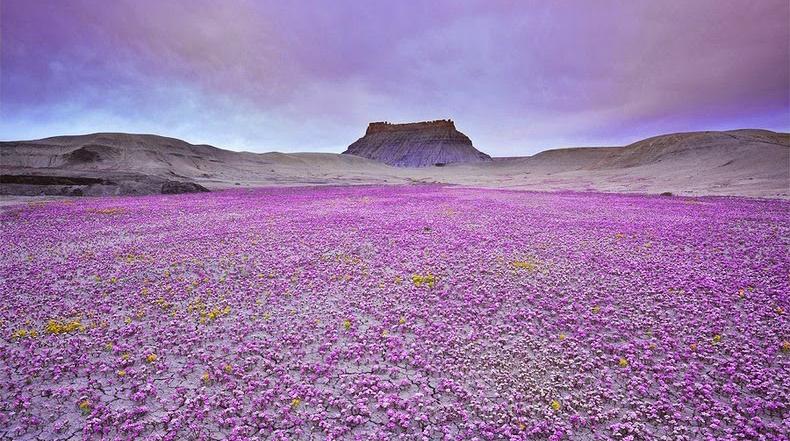 Las flores silvestres del desierto en la meseta del Colorado