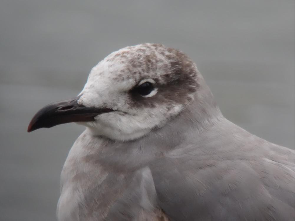 LAUGHING GULL-NEW BRIGHTON-4TH FEBRUARY-2015