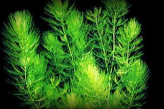 [Imagen: Ceratophyllum+Demersum.jpg]
