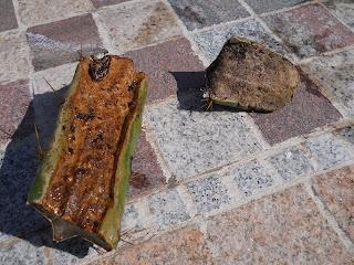 reproducción mediante esquejes de cactus