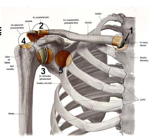 FisioActividad: Complejo articular del hombro