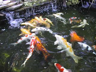 cara-memelihara-ikan-koi-di-kolam