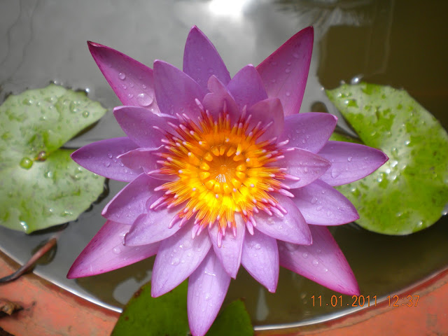 Purple water lily with cloud reflections