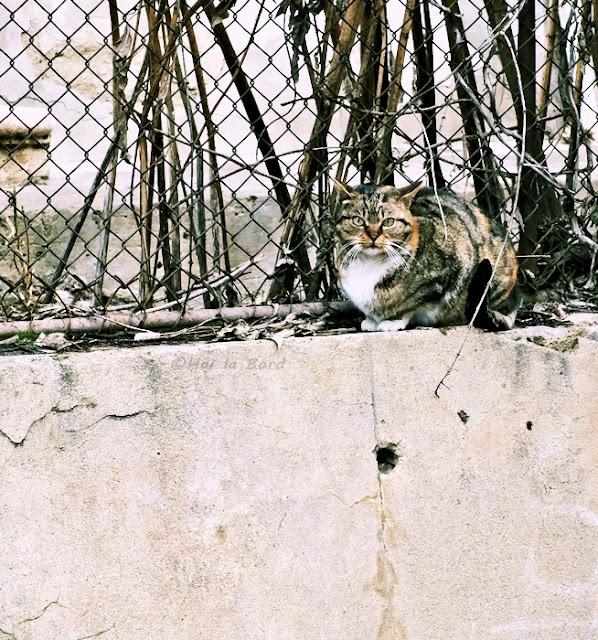 pisica bojdeuca ion creanga iasi