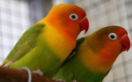love bird box home buat ternak lovebird