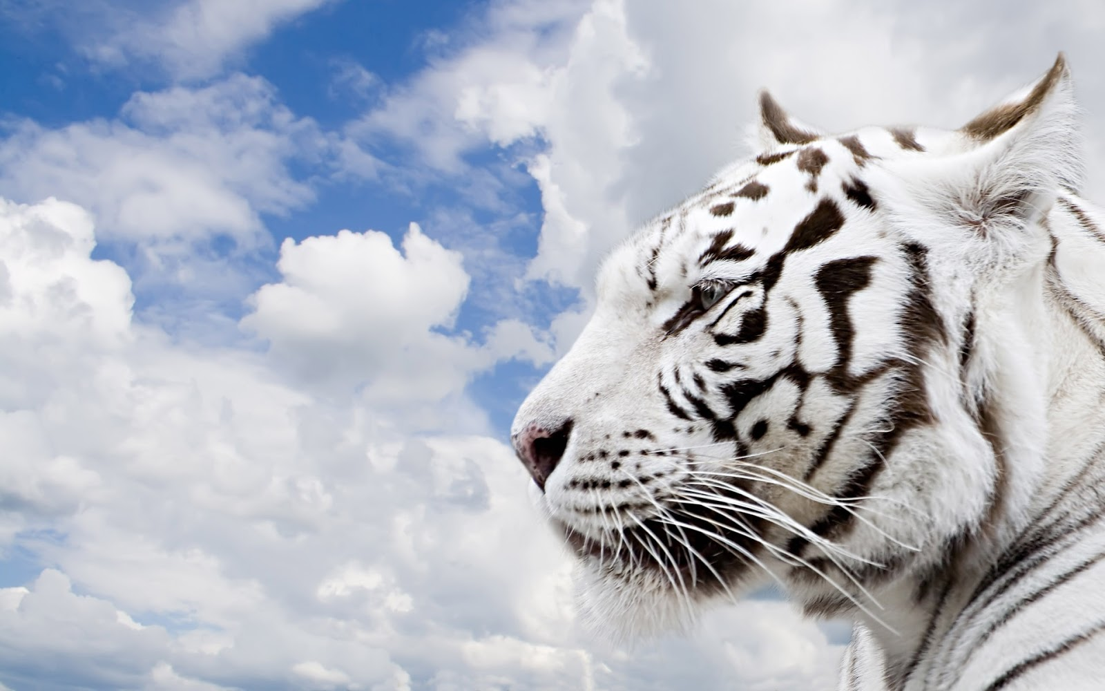 white bengal tigers latest hd wallpaper 2013 top hd