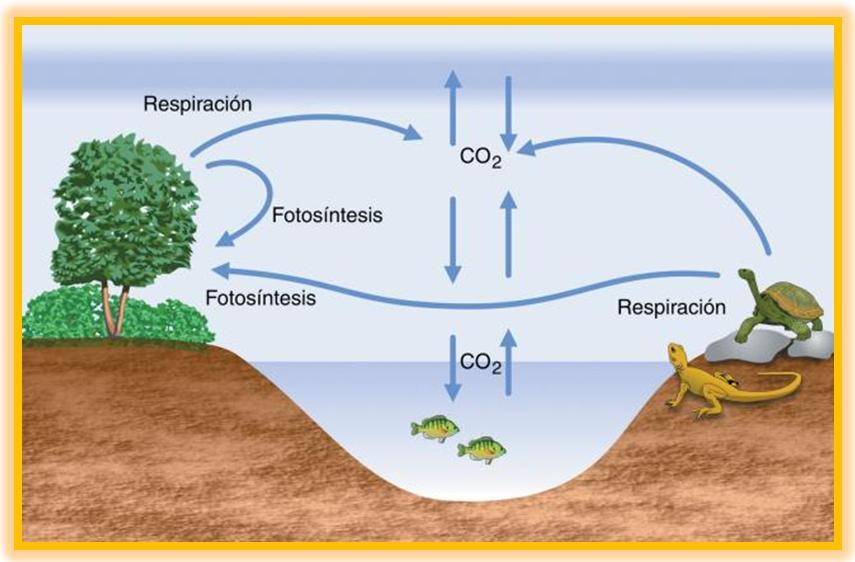 El ciclo del carbono en donde se encuentra el carbono for Marmol donde se encuentra