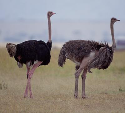 BURUNG unta atau Struthio camelus berasal dari benua Af