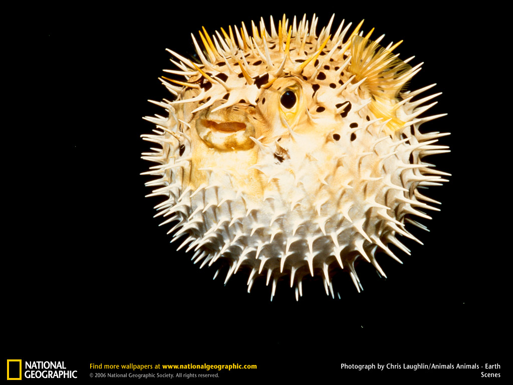 pictures of pufferfish