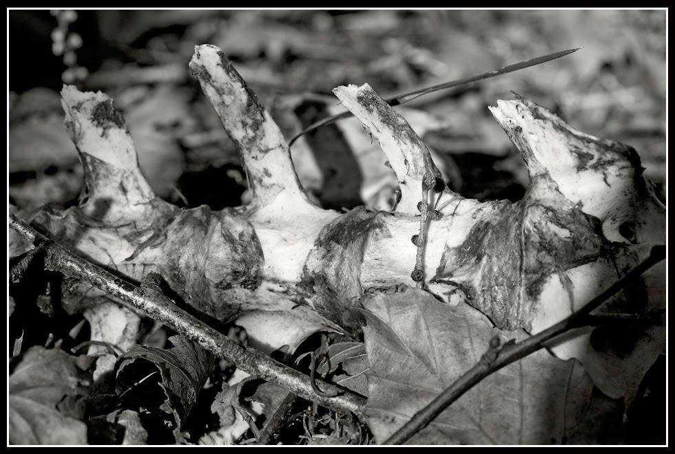 Nova Scotia; Bones; Deer; Skeleton; Skull