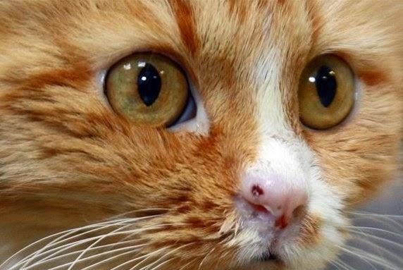 Кальцивіроз у кішки