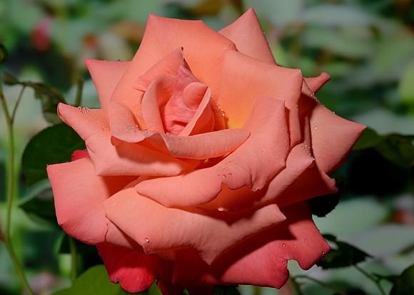 Christoph Colomb rose сорт розы фото