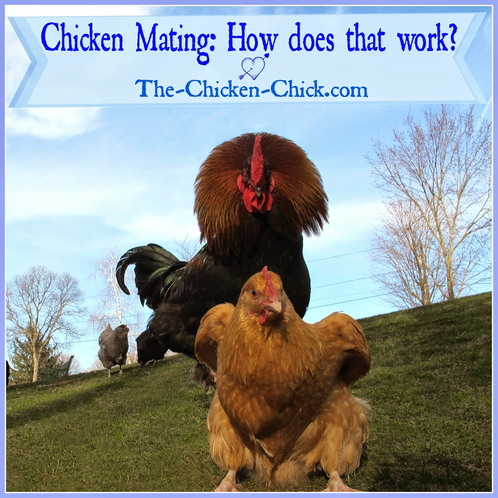 The Chicken Chick®: Chicken Mating: How Does That Work?