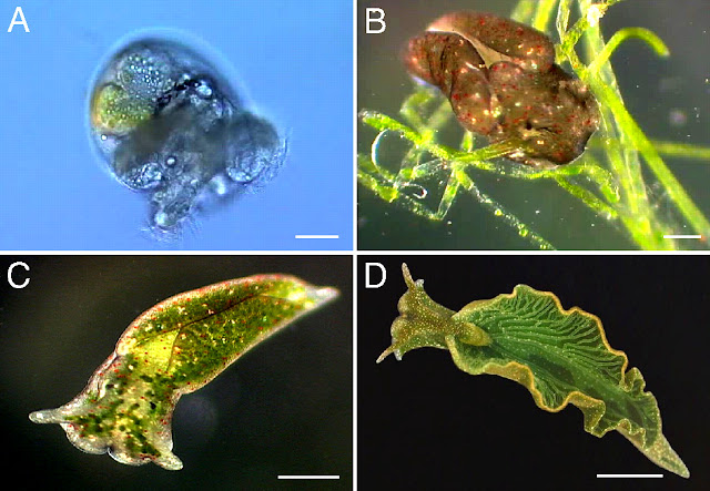 Elysia, chlorotica, planta, animal