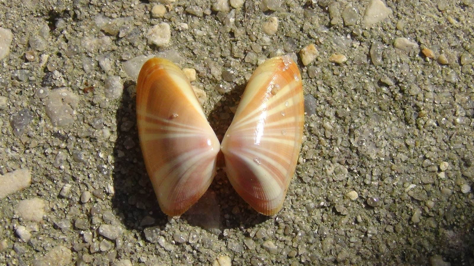 snowchicks snippets coquina or butterfly shells