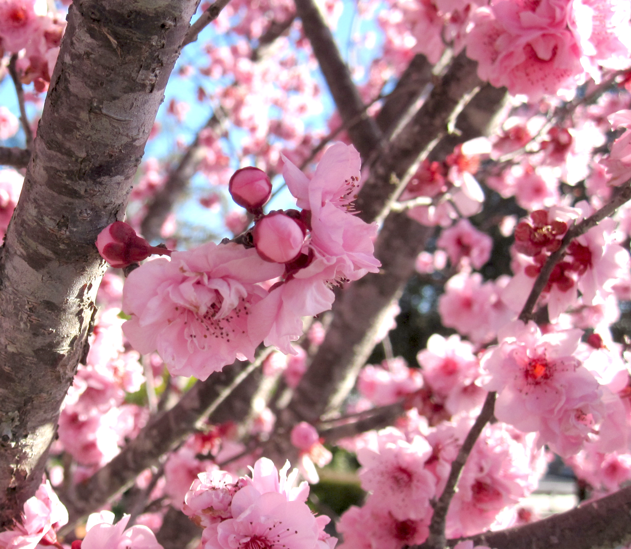 Cherry blossoms dating in Australia