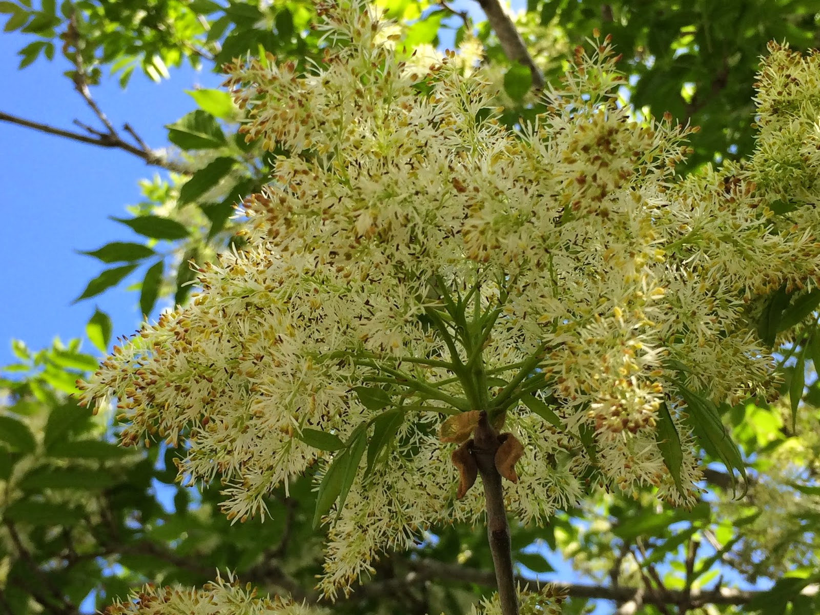 Trees of santa cruz county fraxinus ornus flowering ash the flowers are borne in very showy panicles emerging with the spring foliage males with two stamens four white strap like petals and fragrant mightylinksfo