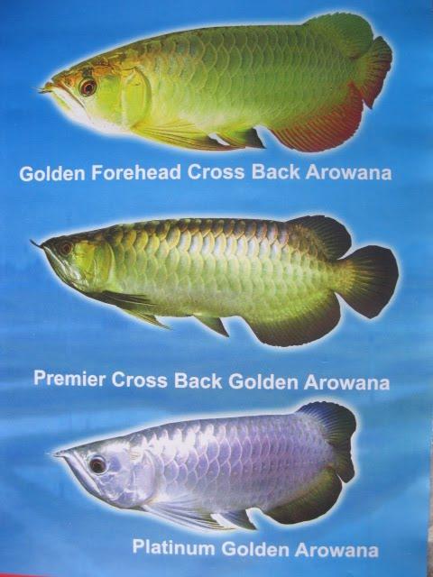 ARWANA AROWANA: Cross Back Golden Arwana