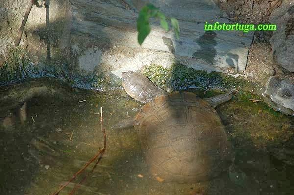 Pelomedusa subrufa