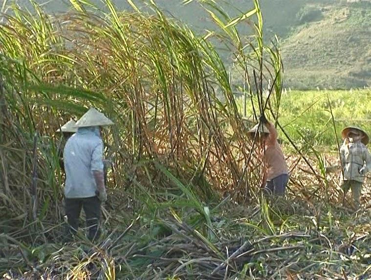 Gia Lai: Công ty cổ phần đường Bình Định gây khó khăn cho người trồng mía