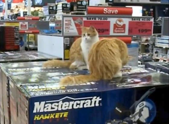 Jimmy dan Baby, dua ekor kucing yang menjadi karyawan sebuah toko Ban