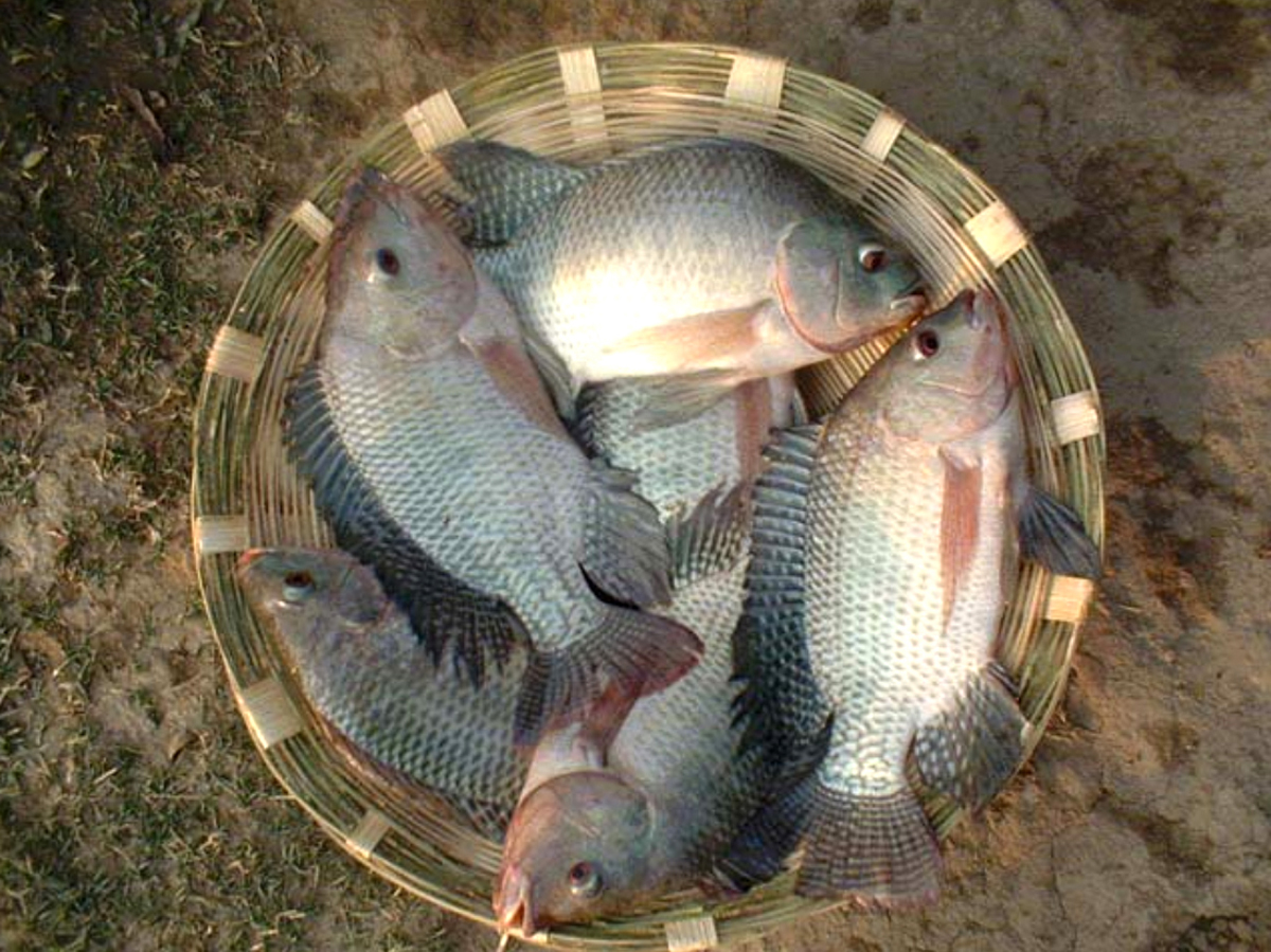 Monosex tilapia farming modern farming methods for Tilapia fish farming