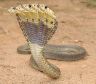 Cobra Snake Wallpapers