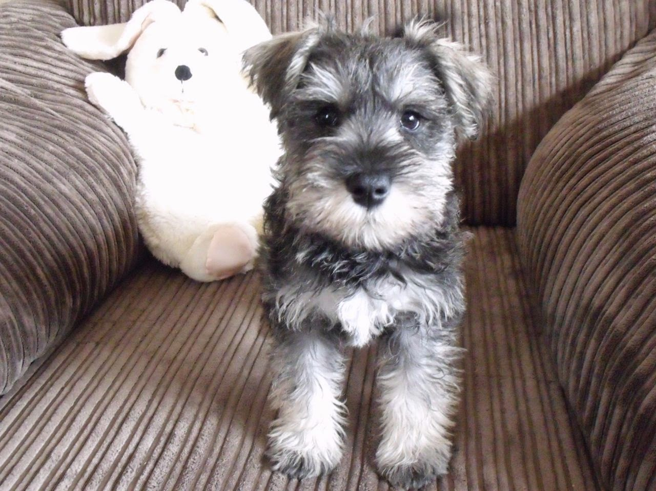Everything About Your Miniature Schnauzer Luv My Dogs