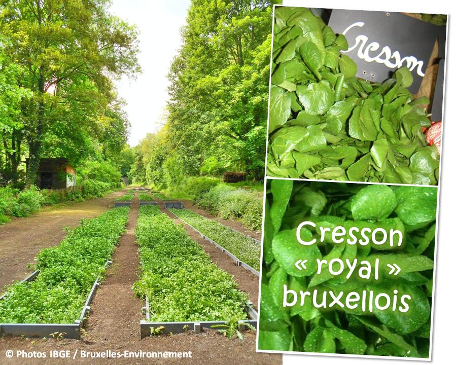 Bruxelles bruxellons mars 2015 - Culture du cresson de jardin ...